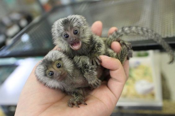 Charming Marmoset Monkey for Adoption