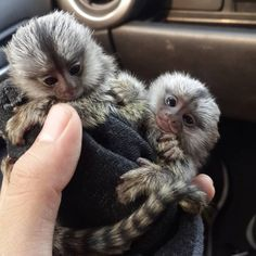 Adorable Marmoset Monkeys