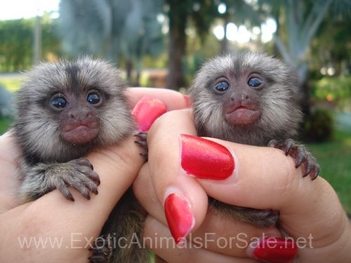 Finger Marmoset Monkeys for New Homes