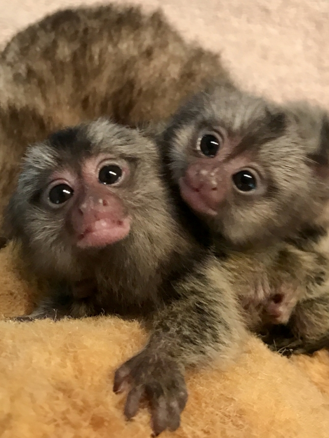 Charming Marmoset Monkeys Available